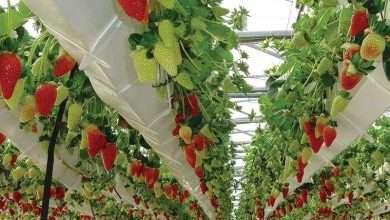 آب شیرین کن و کشت هیدروپونیک توت فرنگی